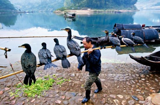 hk_c_會同縣高椅古村的漁民沿襲着魚鷹捕魚的習慣.png