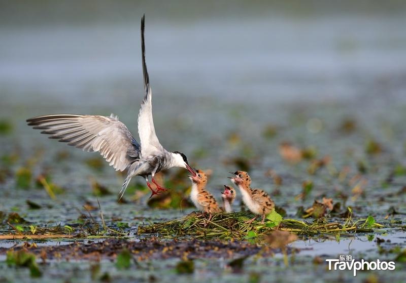 hk_c_哺育   太湖周邊環境綜合治理後帶來了生態的平衡。圖為須浮鷗親鳥的孵卵,出殼,撫育過程。蘇州陶陶.jpg